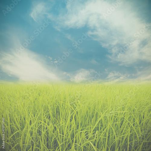 Fotobehang Zwavel geel Rice field and blue sky