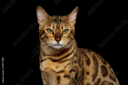 Portrait of Angry Gold Bengal Cat Gazing on isolated Black Background, front vie Canvas Print