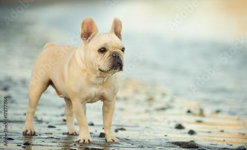 Cream French Bulldog standing on rocky wet beach