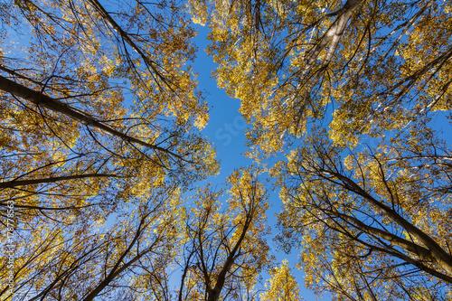 Vista vertical de bosque de chopos en otoño y cielo azul. Populus canadensis.  © LFRabanedo