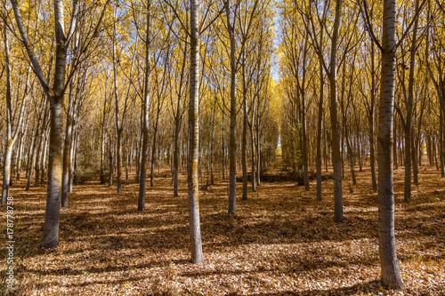 Populus canadensis. Bosque de chopos en otoño.  © LFRabanedo
