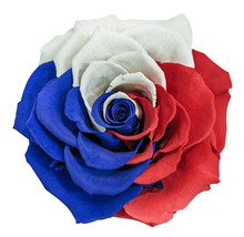 A Beautiful, Large Rose With White, Blue And Red Petals. Tricolor Of Pan-Slavic Countries And Regions. White, Isolated Background