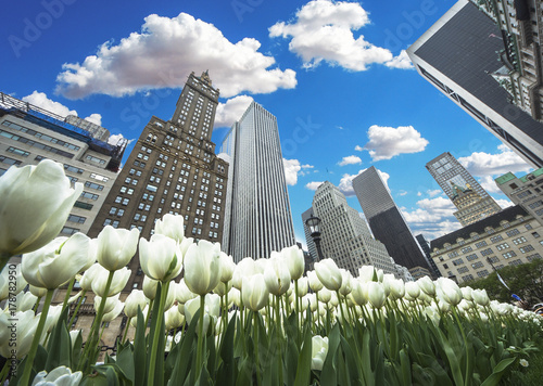 New York City Spring lanscape with white frowers tulips