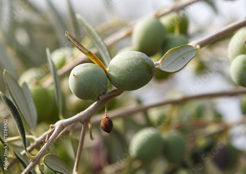 Wall Murals Olive branch with olives