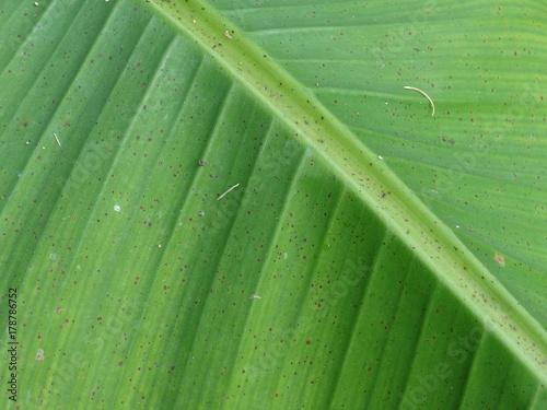 Valokuva  foglia di banana