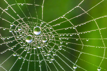 Beautiful Drops Of Dew On A Cobweb On A Green Background