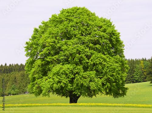 Große alte Buche im Frühling als Einzelbaum