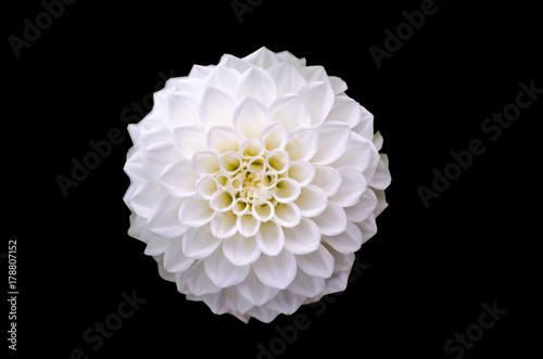 Plakat Biały dalia kwiatu szczegół odizolowywający