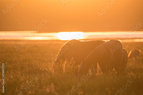 Foto op Canvas Paarden Wild horses grazing on summer meadow at sunset