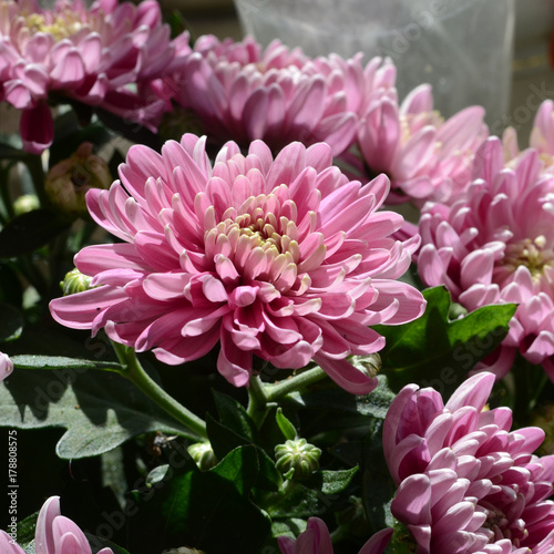 Poster de jardin Dahlia flowers