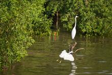 Great White Egret Wading Slowly Through The Mangroves.Thailand.
