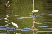 Great White Egret Wading Slowly Through The Mangroves.Thailand.