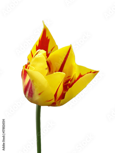 Fotografie, Obraz  Tulip flower 'Mona Lisa' (stripes or flames of red, yellow background ) isolated