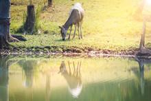 Deer. Young Deer Making A Liv...