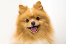 Happy Fluffy Orange Pomeranian...