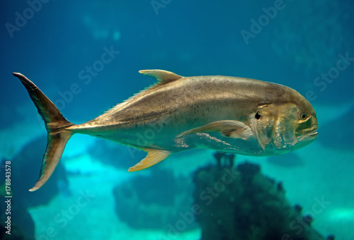 Crevalle jack swimming in the sea.