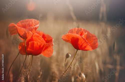 Aluminium Prints Poppy poppies