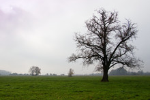 Mighty Tree On Pastures In Autumn Misty Morning, Linden Tree With Fallen Leaves