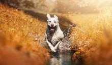 Junger Labrador Retriever Hund Welpe Rennt Durch Einen Fluss Und Hat Spaß