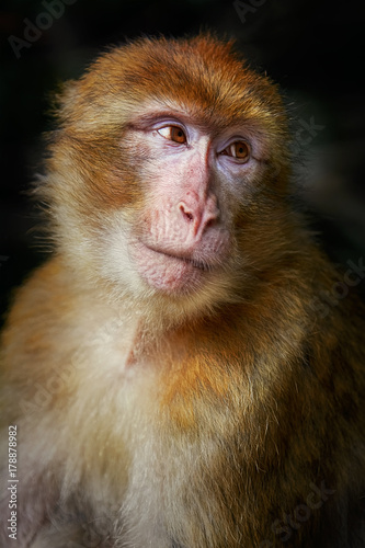 In de dag Aap Barbary Macaque (Macaca Sylvanus)