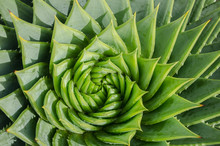 Spiral Aloe Vera With Water Dr...