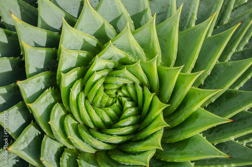 Papiers peints Spirale Spiral aloe vera with water drops, closeup