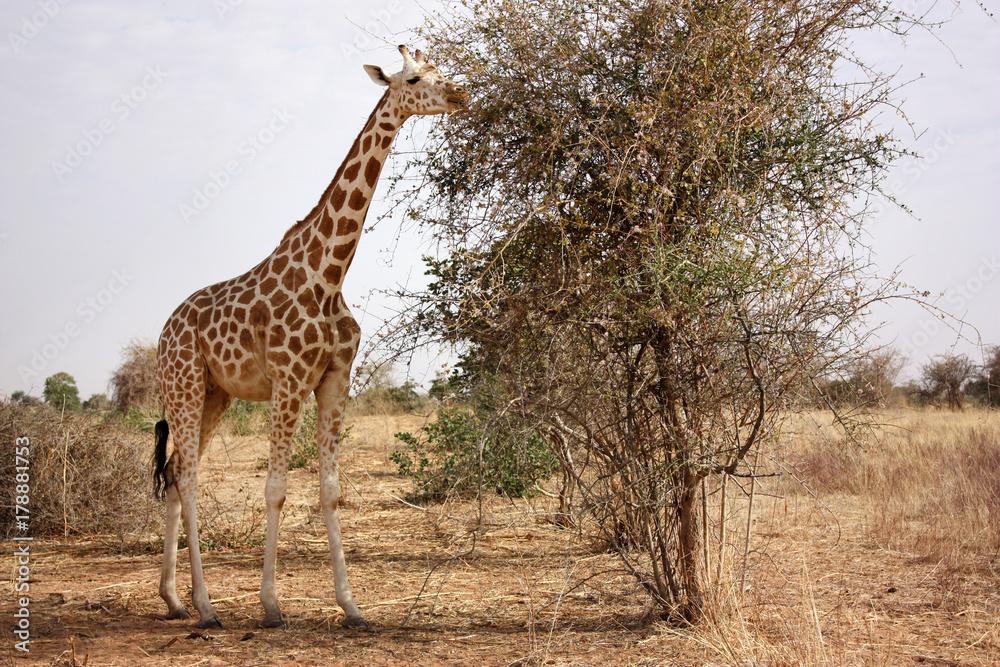 Fényképezés  giraffe