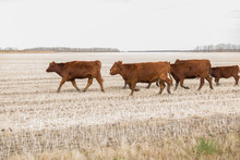 Herd Of Red Angus Cattle