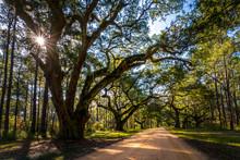 Live Oak Trees Grow Rapidly Wh...
