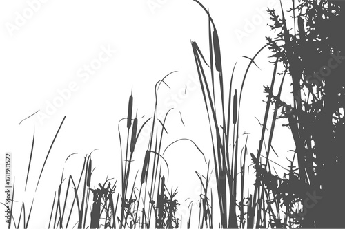 Foto  Silhouette of Reed Bush. Vector Illustration
