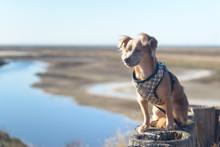 Small Chihuahua Dog Keeping Watch Outside