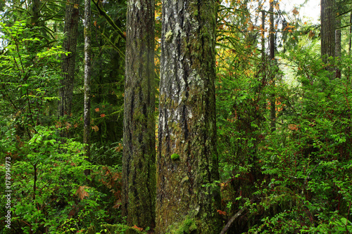 Fototapeten Wald a picture of an Pacific Northwest forest with Shore pines