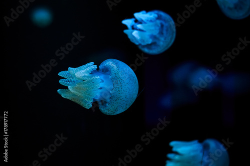 Photo blubber jellyfish, Thailand underwater