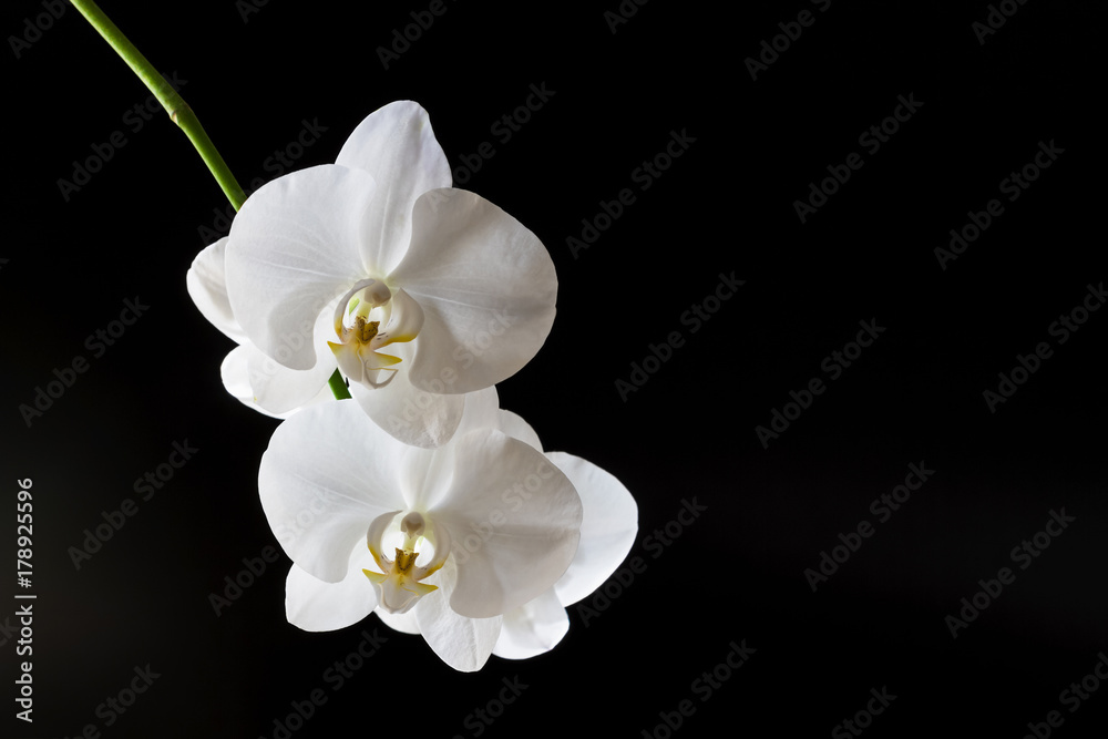 Branch of a blossoming white orchid on dark background. Selective focus