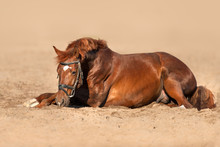 Red Horse In Bridle Lay On San...