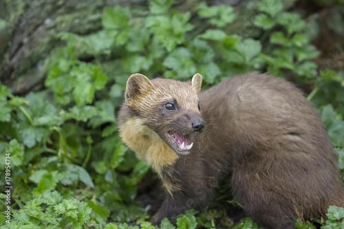 Fotografija  pine martin close up portrait hunting, stalking