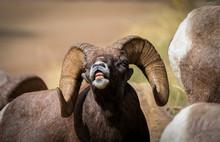 Bighorn Ram Grin