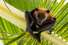 Fruit Bat Hanging Upside Down ...