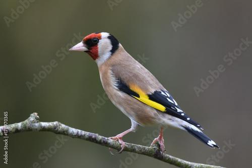 Fototapeta Garden goldfinch