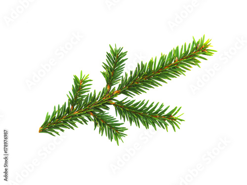 Fototapeta Green branch of spruce isolated on white background. Cut out evergreen fir tree, Christmas tree obraz