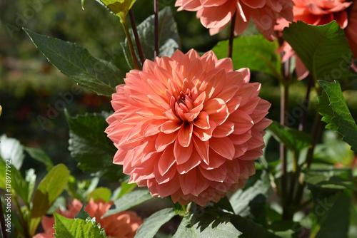 Aluminium Prints Dahlia Dahlia rose en été au jardin