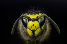 Wasp Head Macro