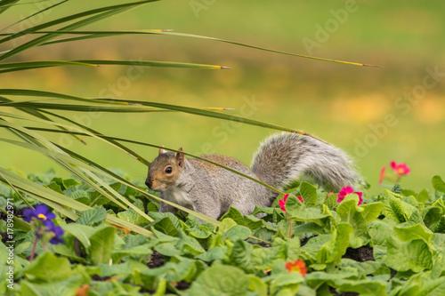 Zdjęcie XXL wiewiórka szara z bliska widok w parku