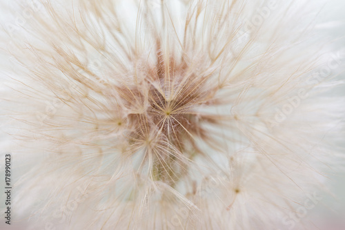 Fototapeta  Aerial dandelion on white background. Relax, air. Copy space