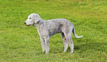 A Young Bedlington Terrier In ...