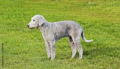 Fotografia A young Bedlington Terrier in profile standing in a field