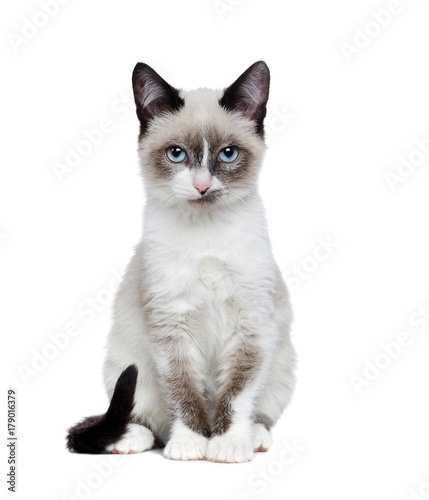 Cuadros en Lienzo Pretty sitting siamese kitten full length isolated on white background