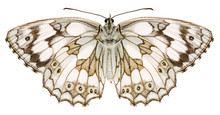 The Marbled White Melanargia G...