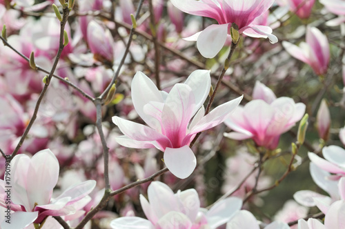 Plakat Magnolia Kwiaty Na Gałęzi Drzewa