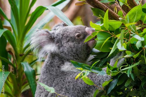 Poster Koala Koala Bear. koala on eucalyptus tree
